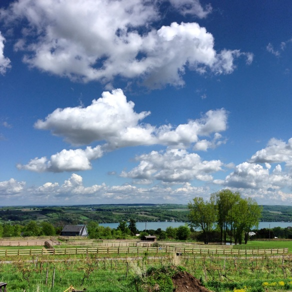 penn yan-vineyard-country