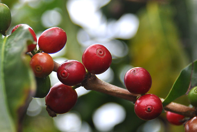 Grown on a lot in Costa Rica, single-origin beans are increasing interest in how coffee can be used in beer.