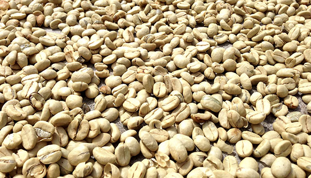 Costa Rican coffee beans drying in the sun.